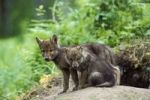Thumbnail Wolf (Canis lupus) pups at den, North America
