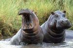 Thumbnail Hippos (Hippopotamus amphibius), Tanzania, East Africa