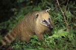 Thumbnail Coati (Nasua nasua), Iguassu National Park, Brazil, South America