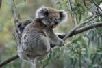 Thumbnail Koala (Phascolarctos cinereus) with baby in Gum Tree, Victoria, Australia