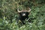 Thumbnail Gaur (Bos gaurus), male, Nilgiri mountains, Western Ghats, South India, India, Asia