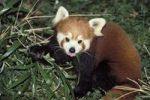 Thumbnail Red Panda (Ailurus fulgens) feeding on bamboo, China, Asia
