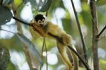 Thumbnail Squirrel-monkey (Saimiri oerstedi), Manuel Antonio National Park, Costa Rica, Central America