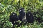 Thumbnail Mountaingorillas (Gorilla beringei), Virunga National Park, Zaire, Africa