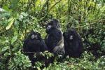 Thumbnail Mountaingorillas (Gorilla beringei), Virunga National Park, Zaire, Africa