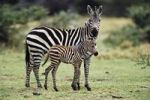 Thumbnail Common Zebra (Equus burchelli) with foal, Serengeti, Tanzania, East Africa