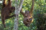 Thumbnail Young Orang Utans playing in tree (Pongo pygmaeus), Tanjung Puting National Park, Borneo, Asia