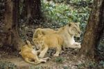 Thumbnail Asian Lion (Panthera leo persica), female with cubs, India, Asia