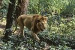 Thumbnail Asian Lion (Panthera leo persica), male, India, Asia