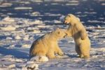 Thumbnail Polar Bears (Ursus maritimus) playing, Churchill, Canada