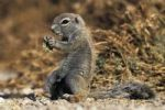 Thumbnail Cape Ground Squirrel (Xerus inauris), Namibia, Africa