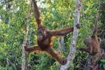Thumbnail Young Orang Utan (Pongo pygmaeus) in tree, Tanjung Puting National Park, Borneo, Asia