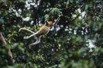 Thumbnail Proboscis Monkeys (Nasalis larvatus), female leaping, Borneo, Asia