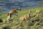 Thumbnail Guanaco (Lama guanicoe) with young, Torres del Paine National Park, Patagonia, Chile, South America