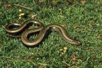 Thumbnail Slow Worm (Anguis fragilis)
