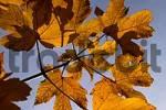 Thumbnail maple leaves in autumn