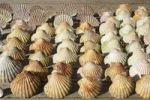 Thumbnail Scallop shells
