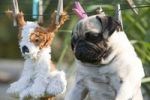 Thumbnail A pug and its freshly washed toy on the laundry line