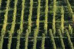 Thumbnail Grapevines, vineyards, Stuttgart, Baden-Wuerttemberg, Germany, Europe
