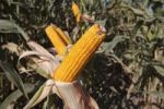 Thumbnail Corn cobs on corn plant