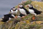 Thumbnail Small argument among Puffins (Fratercula arctica), Fair Isle, Shetland, Scotland, United Kingdom, Europe