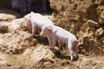 Thumbnail Domestic pigs, young boars (Sus scrofa domesticus), Mallorca, Majorca, Balearic Islands, Spain, Europe