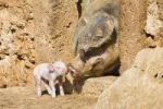 Thumbnail Domestic pig (Sus scrofa domesticus) piglet, mother with young, Mallorca, Majorca, Balearic Islands, Spain, Europe