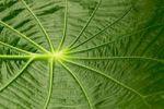 Thumbnail Leaf structure, Capeeba (Pothomorphe peltata), South America