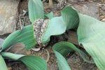 Thumbnail Welwitschia (Welwitschia mirabilis subsp mirabilis), rarity, Namibia