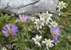 Thumbnail Edelweiss (Leontopodium alpinum) and Alpine Aster (Aster alpinus)