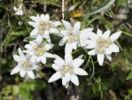 Thumbnail Edelweiss (Leontopodium alpinum)