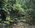 Thumbnail Rain forest at a tributary of the Franklin River in the Franklin Gordon Wild Rivers National Park, Tasmania, Australia