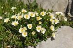 Thumbnail Alpine buttercup (Ranunculus alpestris)