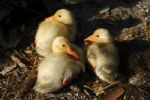 Thumbnail Three freshly hatched ducklings