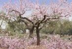 Thumbnail Blossoming almond trees on the Costa Dorado, Spain, Europe
