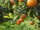 Thumbnail Orange tree on the Costa Dorado, Spain, Europe