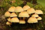 Thumbnail Hypholoma mushroom (Hypholoma radicosum)