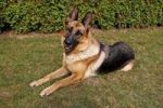 Thumbnail German Shepherd Dog