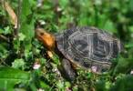 Thumbnail yellow-margined box turtle Cuora flavomarginata critical endangered due over exploitation for Chinese food markets