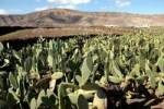 Thumbnail Cactus fields, Lanzarote, Canary Islands, Spain