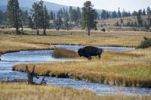 Thumbnail Buffalo in the Fountain Flat, Yellowstone National Park, Wyoming, USA