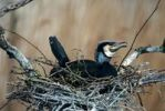 Thumbnail Great Cormorant (Phalacrocorax carbo) in its nest
