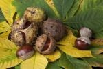 Thumbnail Horse Chestnut (Aesculus hippocastanum), leaves and fruit with and without capsule