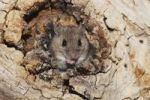 Thumbnail White-footed Mouse (Peromyscus leucopus), adult in tree hole, Sinton, Corpus Christi, Coastal Bend, Texas, USA