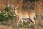 Thumbnail White-tailed Deer (Odocoileus virginianus), doe, Sinton, Corpus Christi, Coastal Bend, Texas, USA