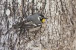 Thumbnail Yellow-throated Warbler (Dendroica dominica), male, Sinton, Corpus Christi, Coastal Bend, Texas, USA