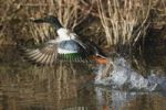Thumbnail Northern Shoveler (Anas clypeata), male taking off, Bosque del Apache National Wildlife Refuge, New Mexico, USA