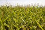 Thumbnail Corn field