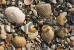 Thumbnail Shells at the beach of Amelia Island, Florida, USA