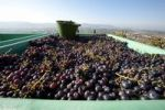 Thumbnail Harvest of red wine grapes in the Rems valley, Baden-Wuerttemberg, Germany, Europe
